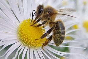 por que vive la abeja africana en mexico--5
