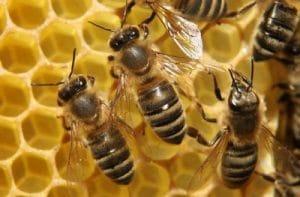 por que vive la abeja africana en mexico-6
