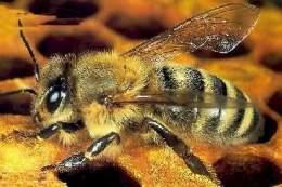 por que vive la abeja africana en mexico-7