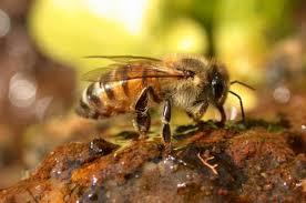 por que vive la abeja africana en mexico