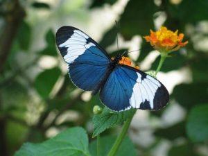 Mariposa safo alas largas