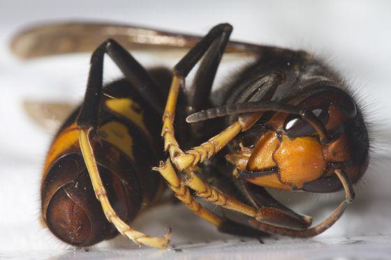 tamaño de la avispa asiatica