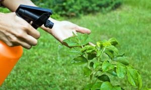 usar ajo como insecticida 8