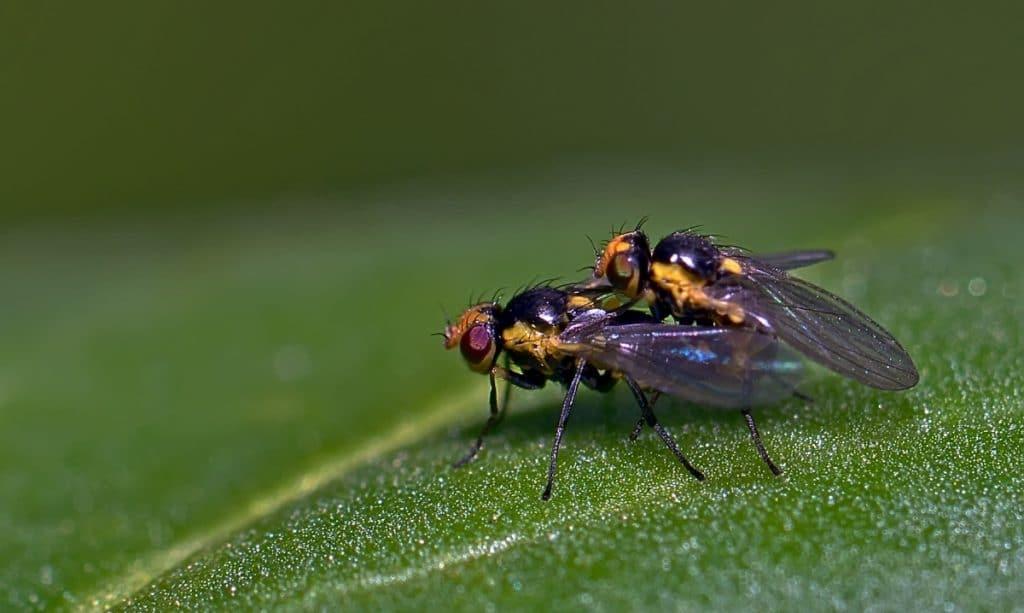 Mosca minadora o Liriomyza huidobrensis a minadora