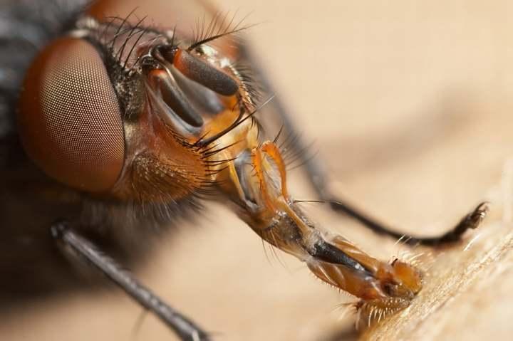 Alimentación de las moscas