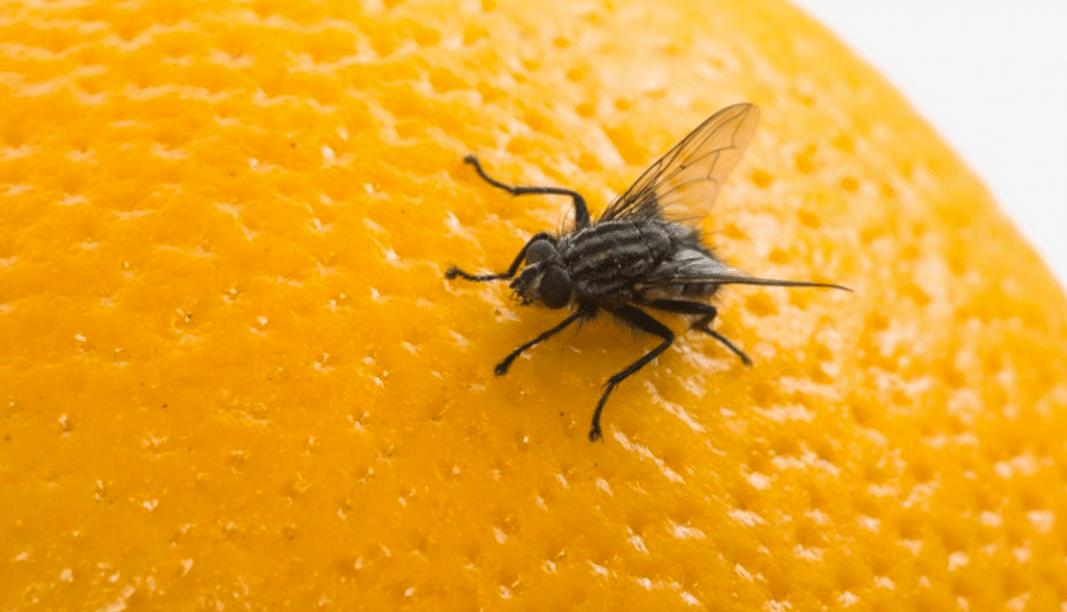 Alimentación-de-las-moscas3