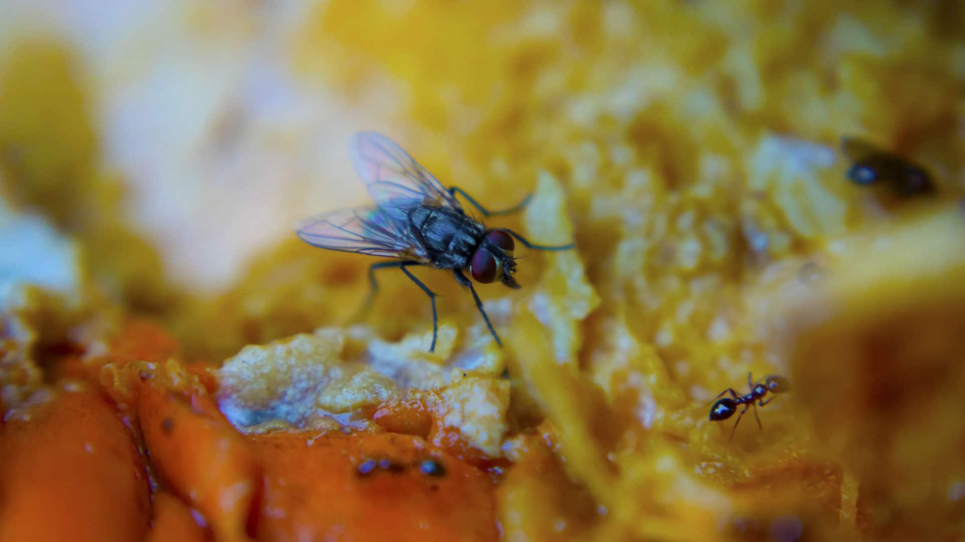Alimentación-de-las-moscas2