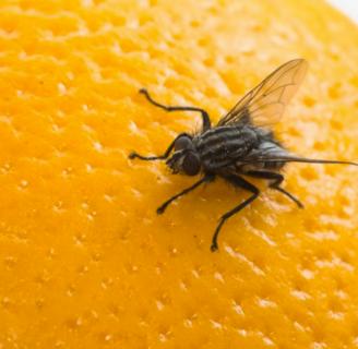 Alimentación de las moscas: Todo lo que debes saber
