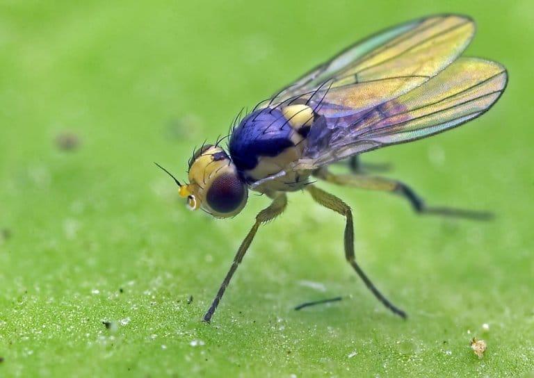Mosca minadora o Liriomyza huidobrensis