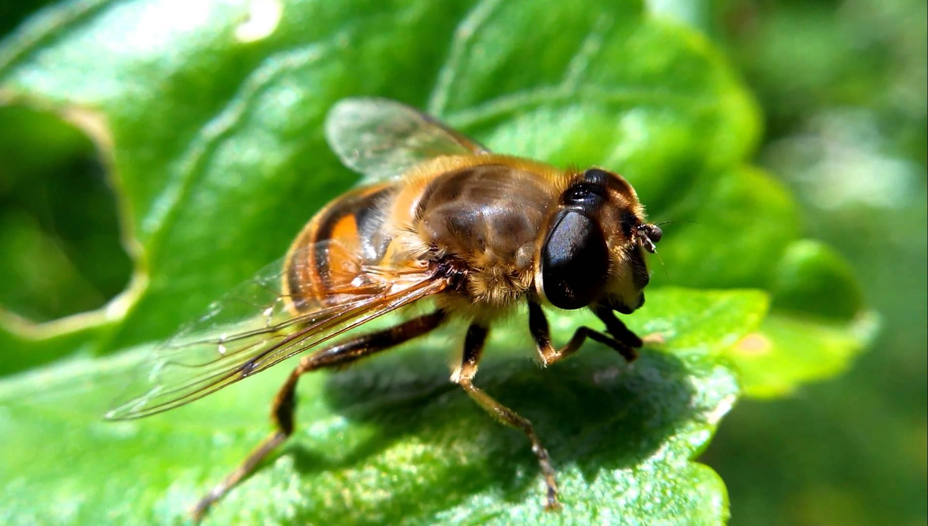 Mosca abeja
