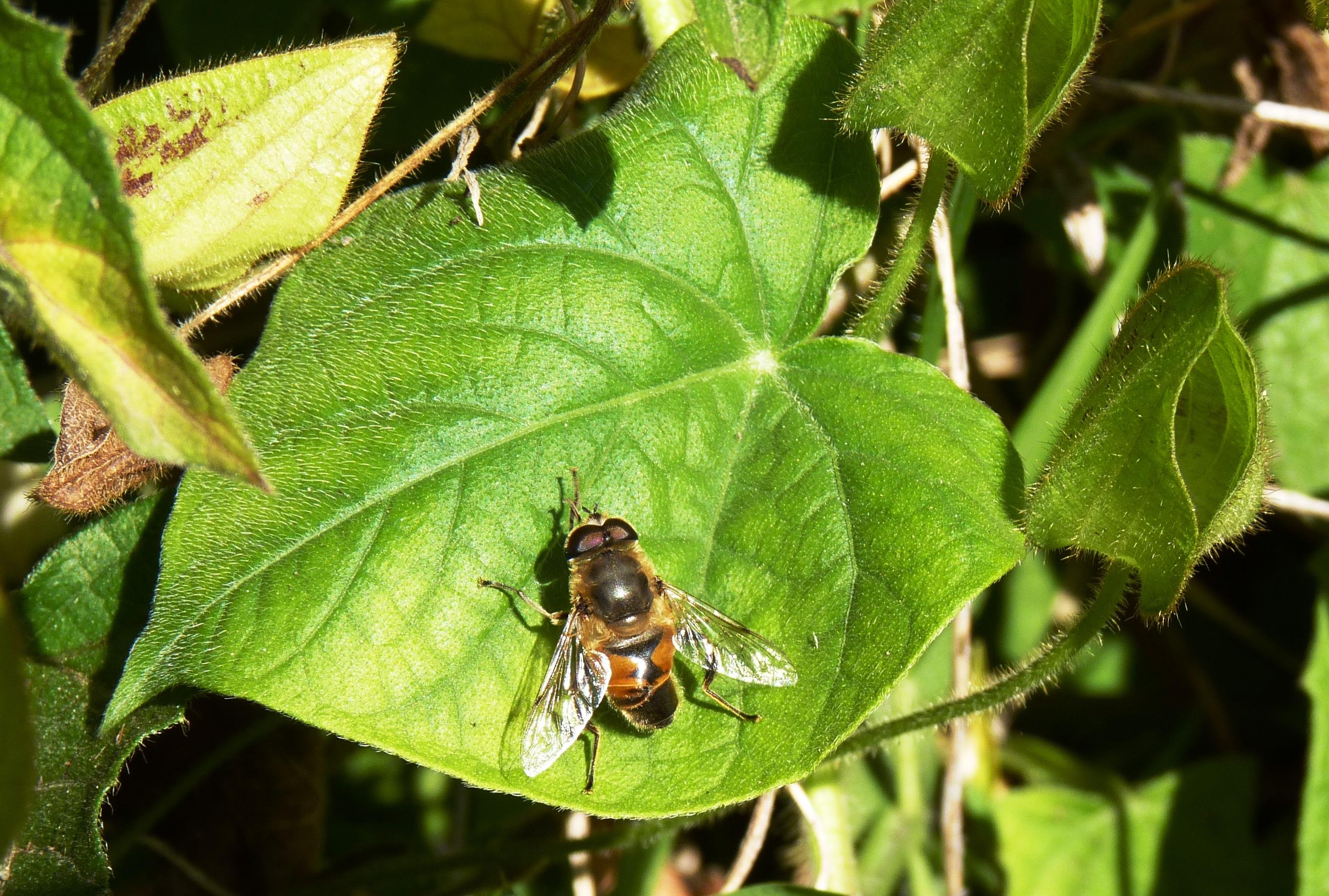 Mosca-abeja2