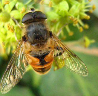 Mosca abeja: Todo lo que debes saber