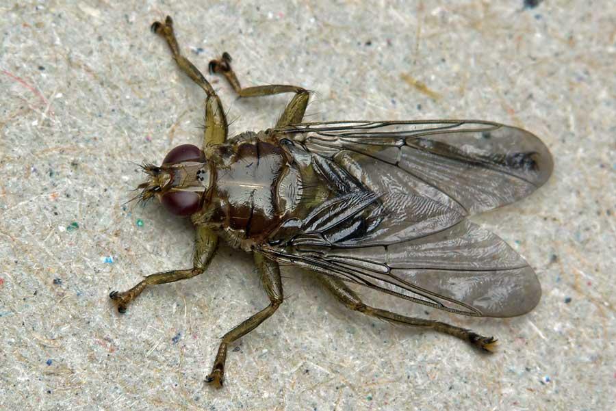 mosca de caballo