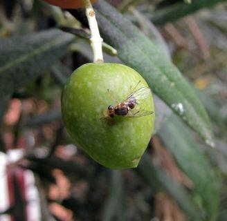 Mosca del olivo: Todo lo que debes saber de este insecto