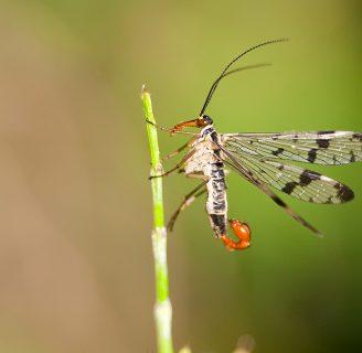 Mosca escorpión: Todo lo que debes saber de la especie