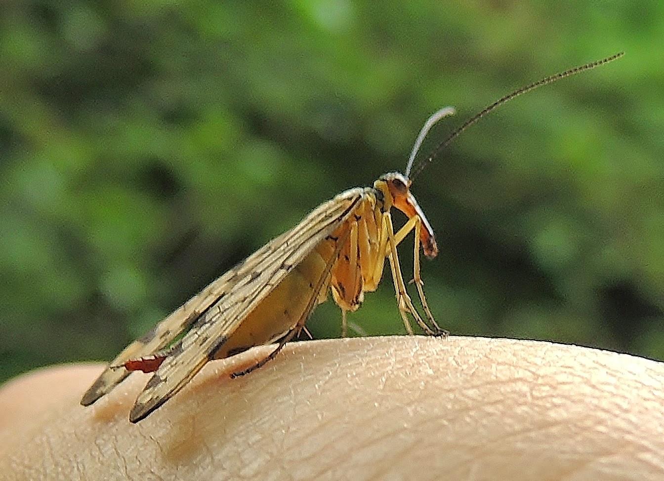 Mosca-escorpión5