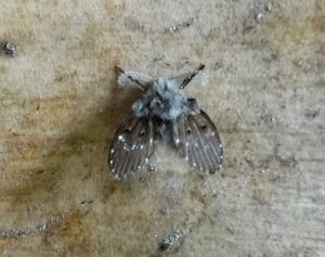 mosca de la humedad