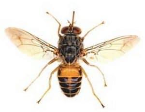 Mosca tse-tse mosca del sueño o mosca africana