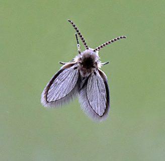 Psychodidae o moscas de la humedad: Todo lo que necesitas saber