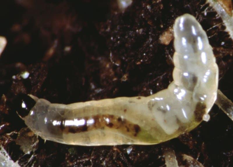 larva mosca de la humedad