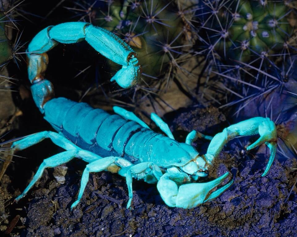 escorpión-azul-8