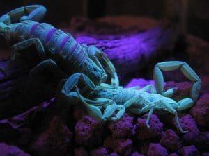 escorpión-azul-10