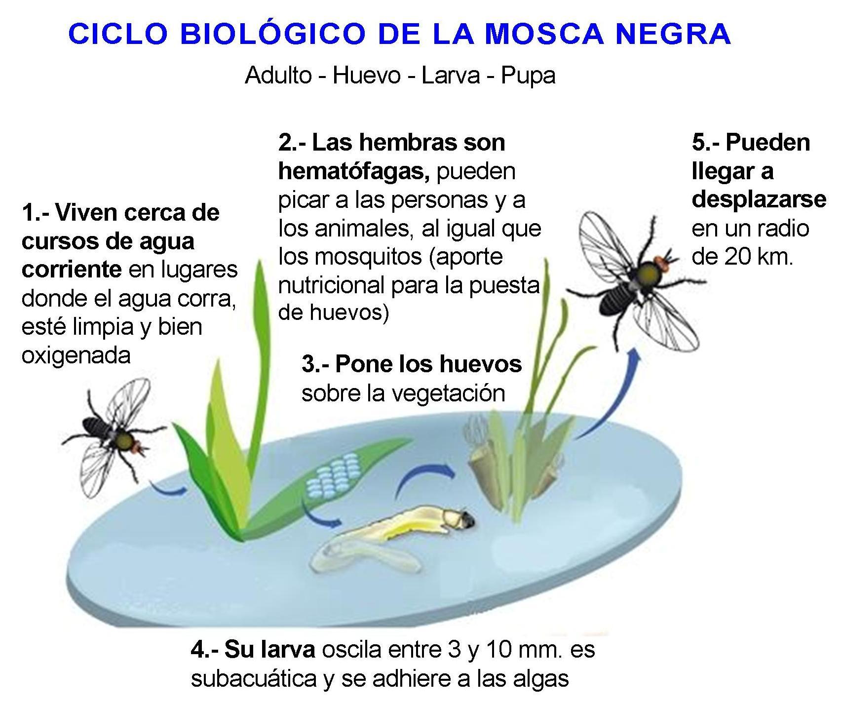 ciclo vida mosca negra