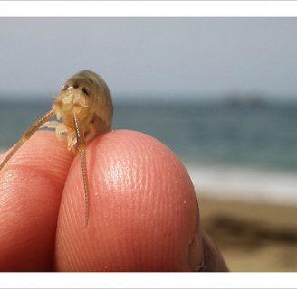 Pulga de playa pulga de arena o pulga de mar: Todo sobre ella