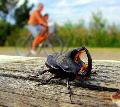Escarabajo rinoceronte o torito: caracteristicas, alimentación y más.