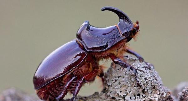 24bf5da66ccba72ed8d3ac71f372165d-rhinoceros-beetles