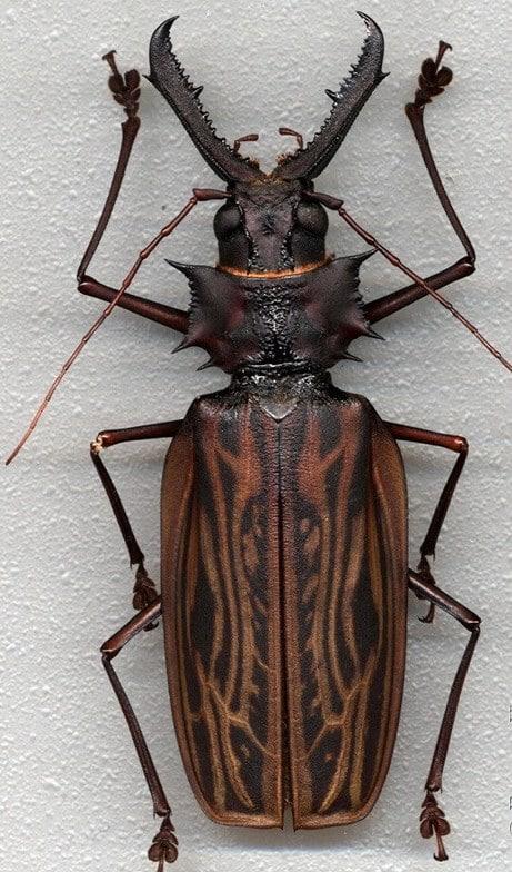escarabajo hercules