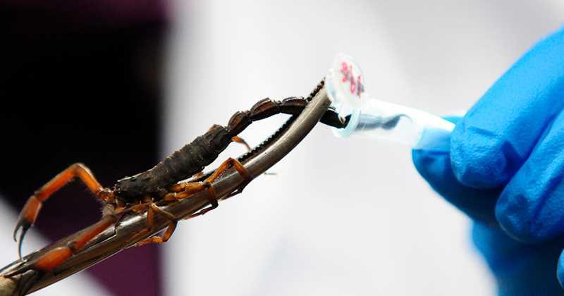 escorpión-azul-21