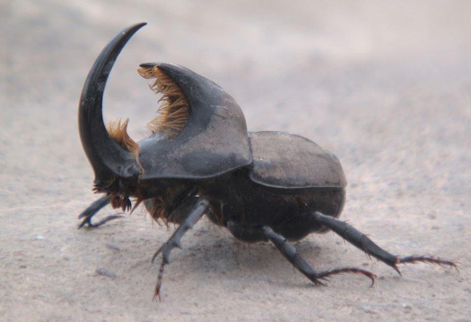 escarabajo rinoceronte macho