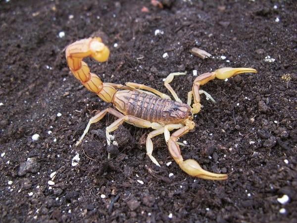escorpión-azul-2