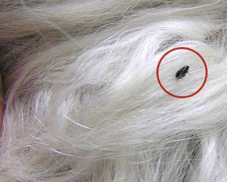 Alergia a pulgas: Síntomas, tratamiento y cómo prevenirlas