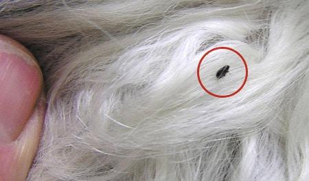 Alergia-a-pulgas4