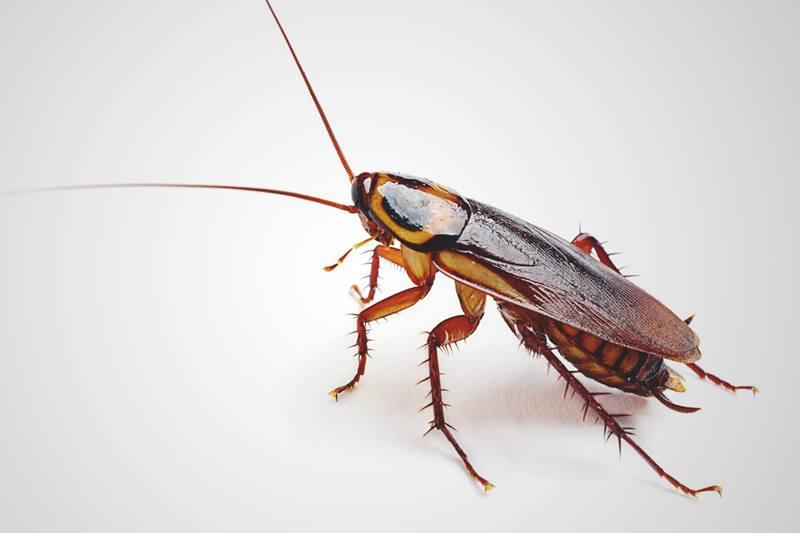 Caca-de-cucaracha3