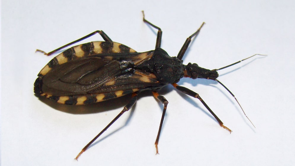 Chinches picudas del chagas o chinches besuconas