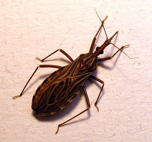 Chinches-picudas,-del-chagas-o-chinches-besuconas4