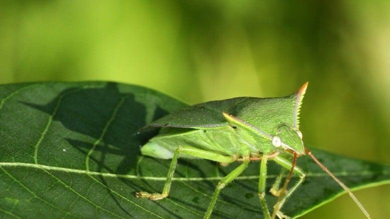 Chinches verdes