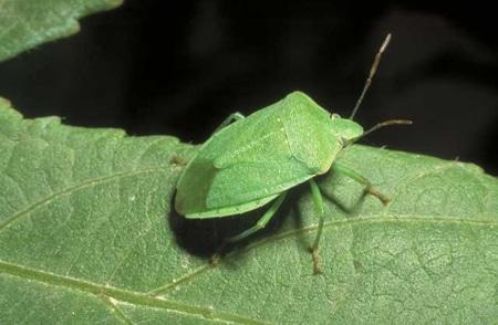 Chinches-verdes2