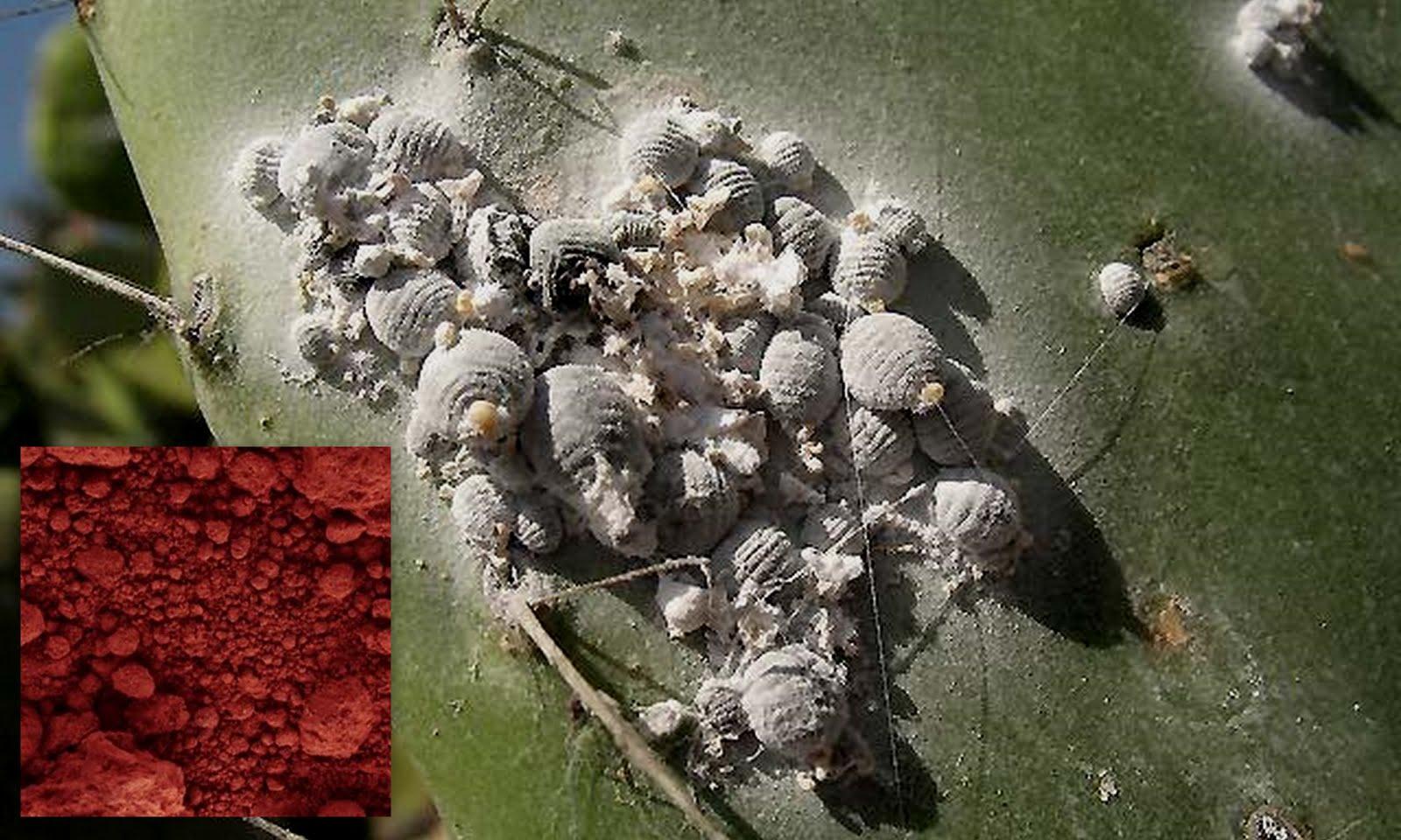 Cochinilla-colorante-o-ácido-carmínico2