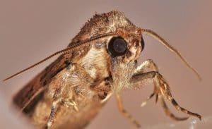 Mariposa nocturna todo lo debes de saber y polillas - Como eliminar la polilla ...