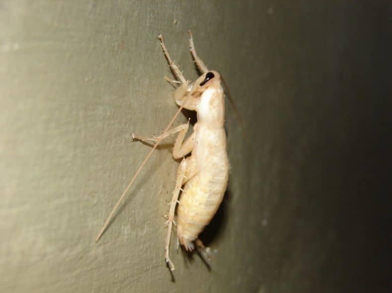 Cucaracha-blanca-o-albina4