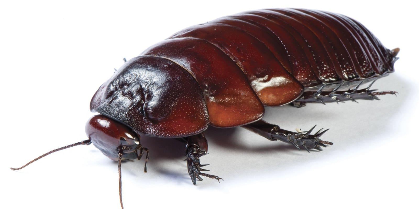 Cucaracha china