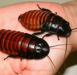Cucaracha china: Todo lo que debes saber de esta exótica especie