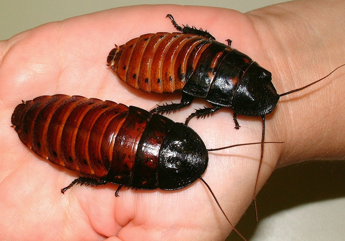 Cucaracha-china2