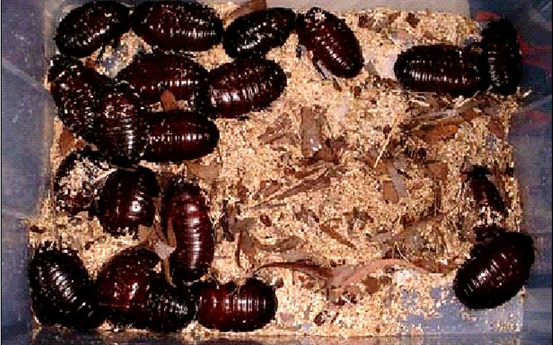 Cucaracha-china3