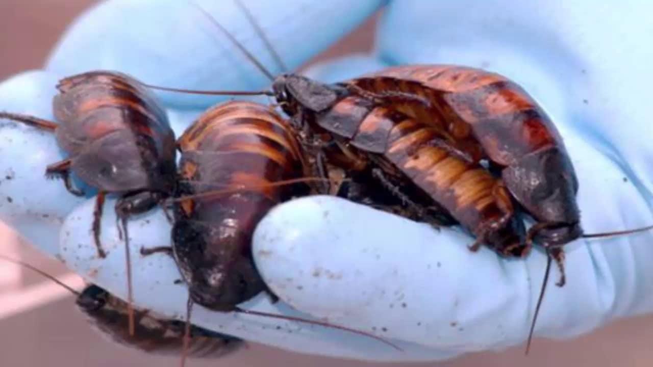 Cucaracha-china4