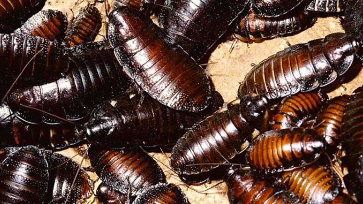 Cucaracha-china5
